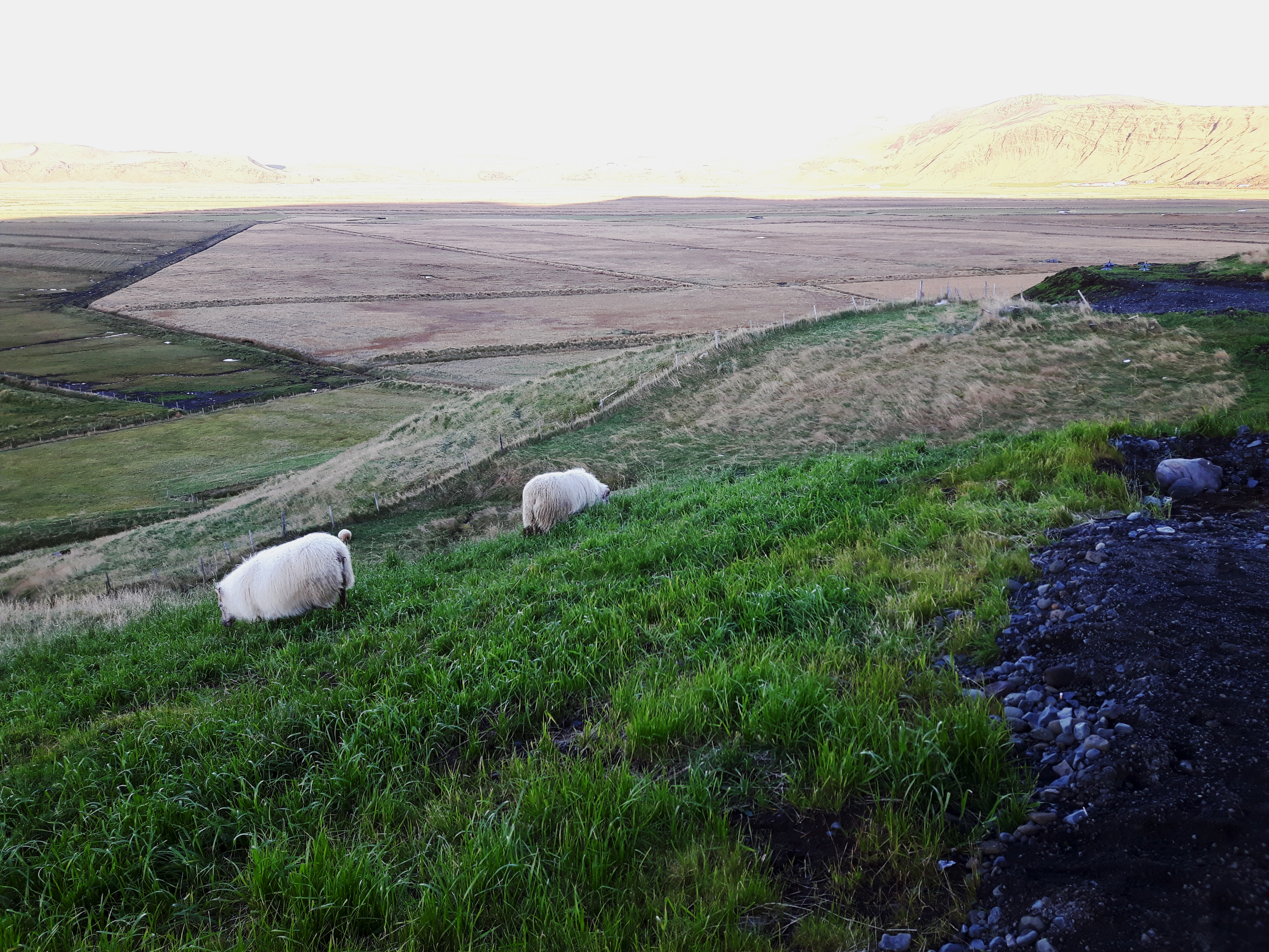 Icelandic_Sheep_Vik_Iceland